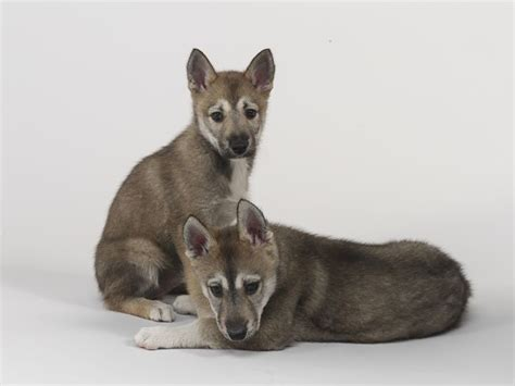 tamaskan puppies 1000 images about ღ tamaskan on puppys german shepherds and wolf dogs