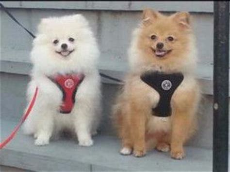 pomeranian collars best harness and collars for a pomeranian