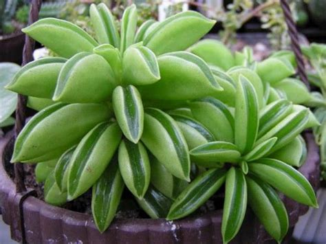 houseplant vine peperomia dolabriformis prayer pepper world of succulents