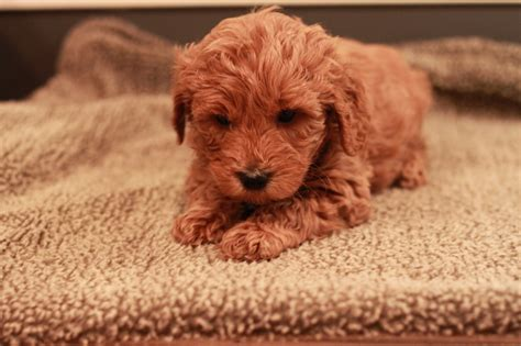 mini goldendoodle new york goldendoodle puppies new york goldendoodle breeder new