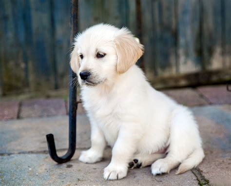 golden retriever puppies for sale in ri pedigree golden retriever puppies bridgnorth shropshire pets4homes