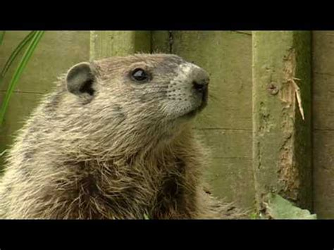 groundhog day meaning dictionary groundhog definition crossword dictionary
