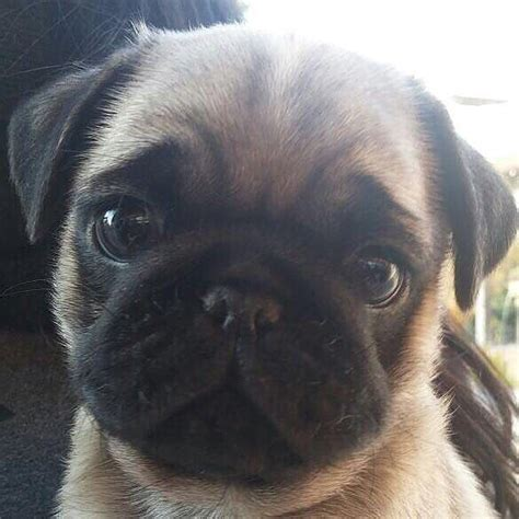 6 week pug puppy care best 25 pug puppies ideas on pugs baby pugs and dogs and puppies