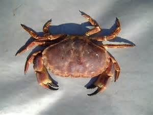 file arge edible crab jpg