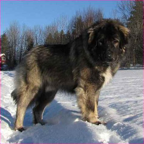 are bears related to dogs russian breeds simple image gallery