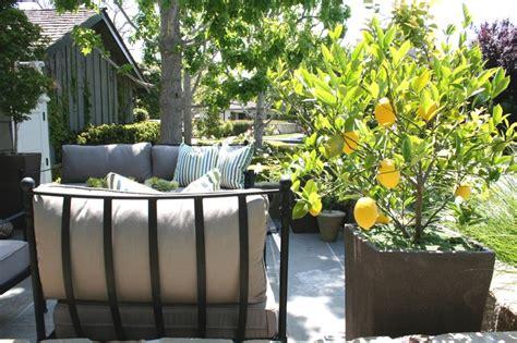 pretty potted lemon tree on patio backyard