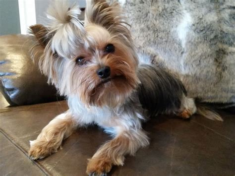 yorkie puppies for sale in scotland miniature terrier for sale in scotland merry
