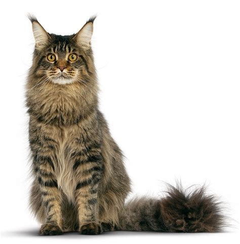Unique House Names by Cat Breeds Maine Coon Royal Canin