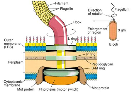 diagram of flagella lecture 2 microbiology optom 105 with j v at