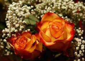 yellow roses with tips flower power its and bits s