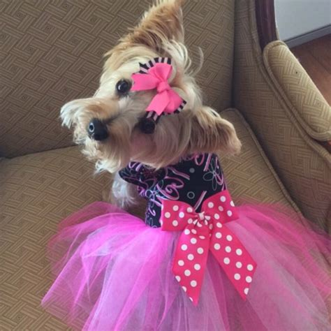 yorkie fashion yorkie clothes and fashion all about clothes and fashion for yorkies breeds picture
