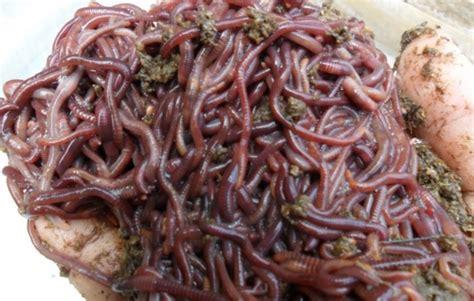 Cacing Cara Budidaya cara budidaya cacing lumricus rubellus cacing tanah yang