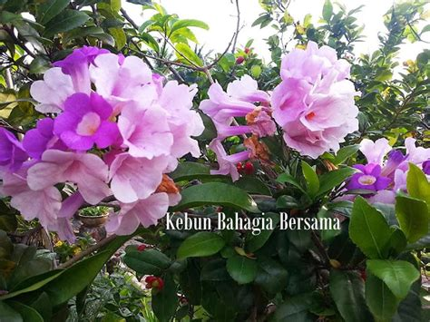 Benih Bunga Hyacinth kebun bahagia bersama bunga warna mauve lilac lavender
