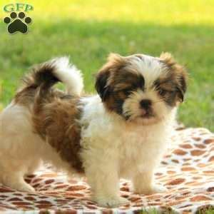 shih tzu puppies in pa shih tzu puppies for sale in de md ny nj philly dc and baltimore