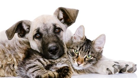 wallpaper cat and dog hd cat and dog wallpapers high quality download free