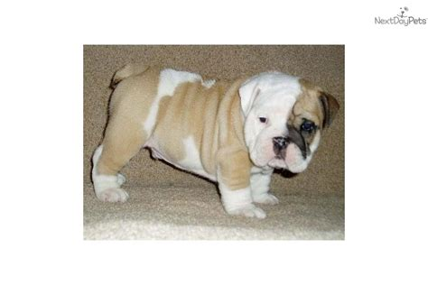 bulldog puppies for sale upstate ny puppies for sale from upstate bulldogs nextdaypets