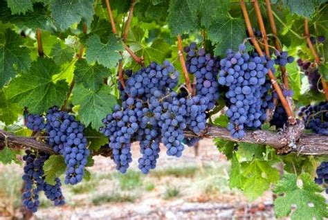 fruit vines mission jesus style cultivating fruit on the vine part 2
