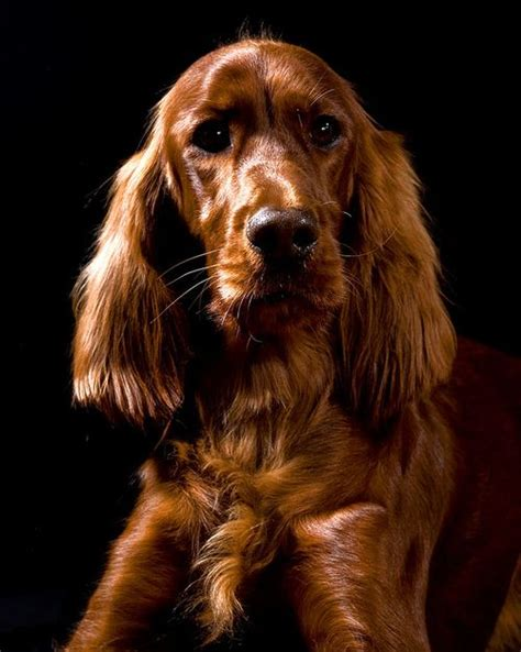 red setter working dog 20 best big red setter books images on pinterest irish