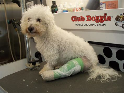 yorkie broken leg club doggie mobile grooming salon services and fees