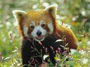 Red panda lesser panda firefox