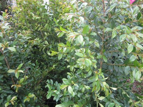 Syzygium Backyard Bliss by Lilly Pilly Syzygium Paniculata Backyard Bliss