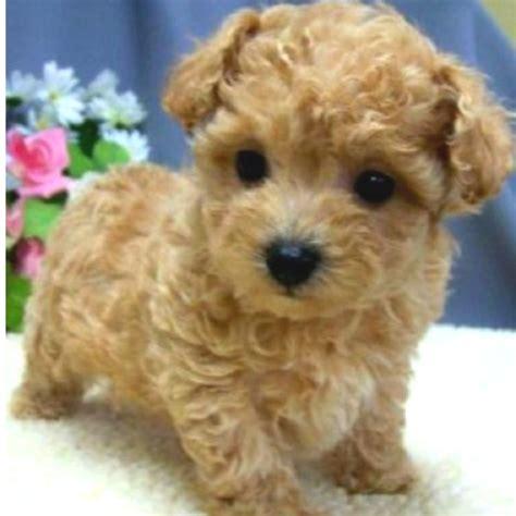 designer dogs designer dogs breeds list and pictures breeds picture