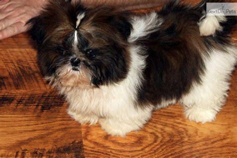 shih tzu puppies southern illinois shih tzu for sale for 500 near southern illinois illinois 60f9ef8b d431