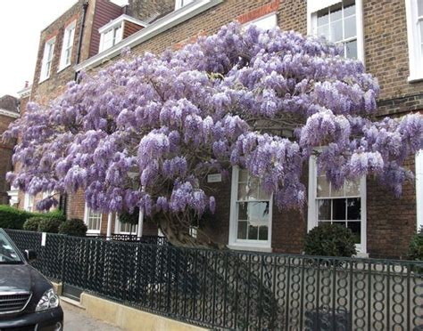wisteria meaning the wistful wisteria seeing symbols