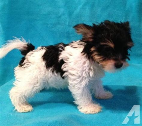 biewer yorkie for sale in ga biewer yorkies for sale in bowersville classified americanlisted