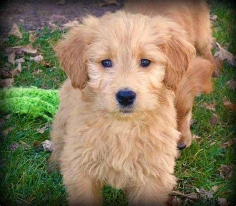 Goldendoodle Pups One Day