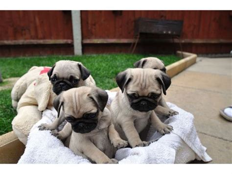pug breeders qld pug information and facts four pug puppies free for adoption australia qld pets