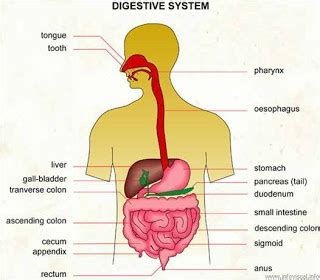 How Does Rely Detox Clean Out Your System by How To Clean Your Digestive System