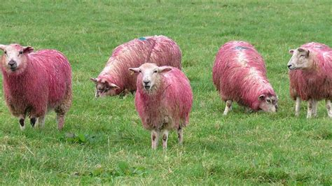 Sheep Pink farm shop dyes sheep pink in support of breast cancer news farmers guardian