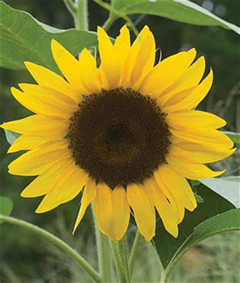 del sol hybrid sunflower seeds  plants annual flower
