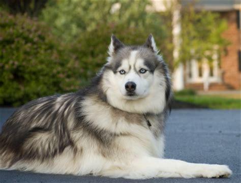 how to your husky to be a guard siberian husky