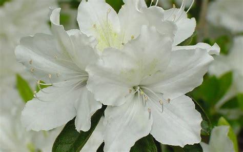 Azalea White buy white gumpo azalea 1 gallon azalea shrubs buy