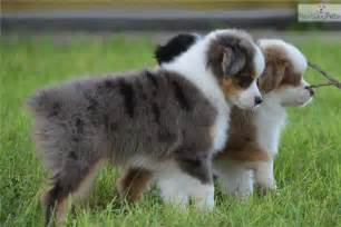 australian shepherd size at 3 months pics photos miniature australian shepherd puppies adopt