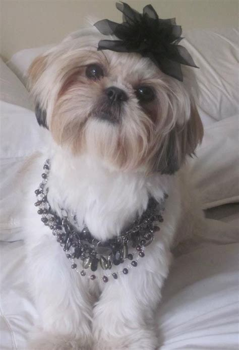 shih tzu braids 17 best images about my on amazing dogs sleeping dogs and prom