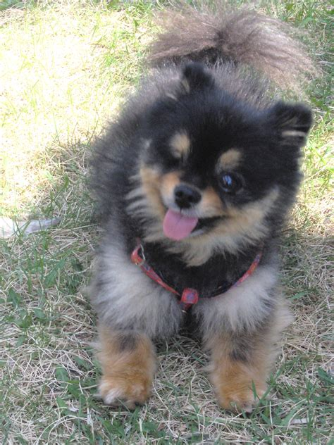 pomeranian to buy puppies pomeranian puppies search pomeranian puppies breeds picture