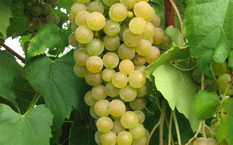 new grape variety developed by cornell university winedom