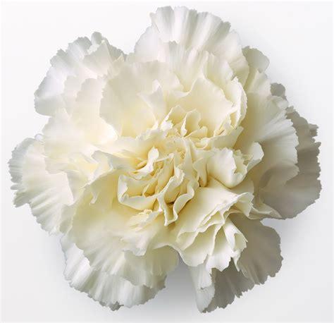 carnation flower white carnations in flower tags carnation white