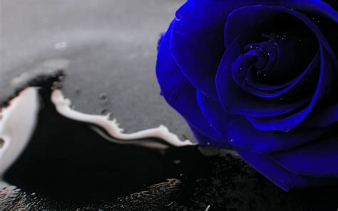 blue rose wallpapers images  pictures backgrounds