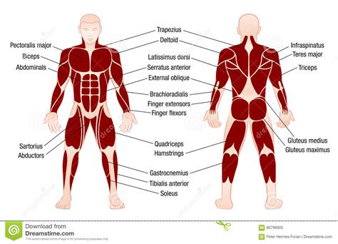 back muscles in a nutshell musculoskeletal anatomyzone