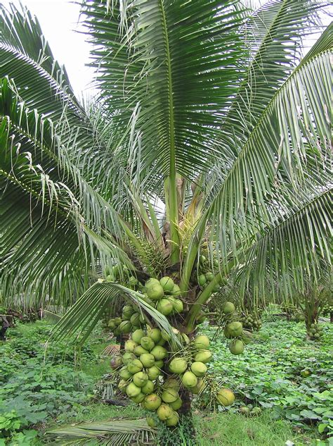 fruit bearing palm trees grafted fruit bearing plants are a hit with tagaytay visitors