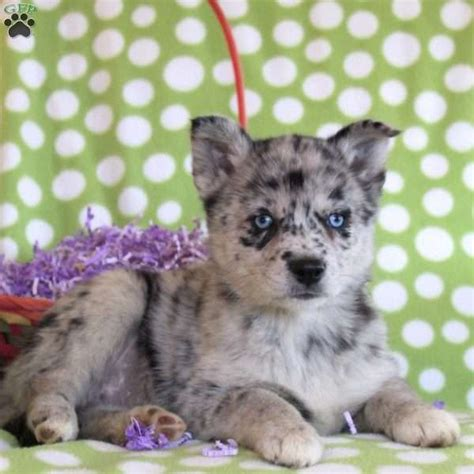 pomsky puppies for sale in florida 17 best ideas about pomsky for sale on pomsky for sale pomsky puppies