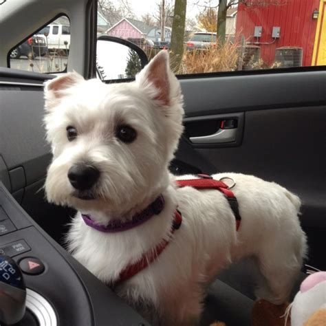 images of westie haircuts 17 best images about westies on pinterest white terrier