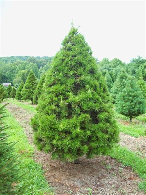 best 28 scientific name for christmas tree leaves of