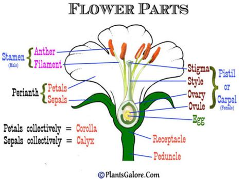 flower part diagram parts of a flower diagram to label