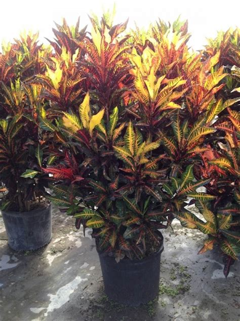 tropical plants for sale in florida crotons tropical plants for sale tropical plants