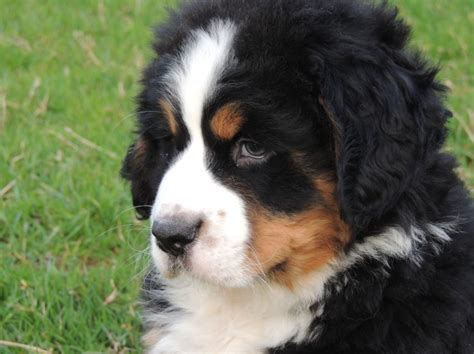 bernese mountain puppies for sale in pa bernese mountain puppies for sale in pa breeds picture